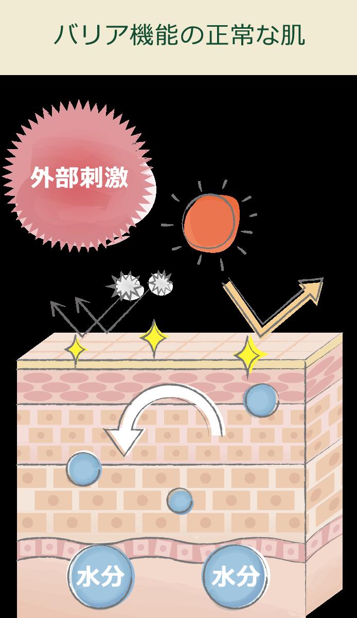 バリア機能の正常な肌の様子